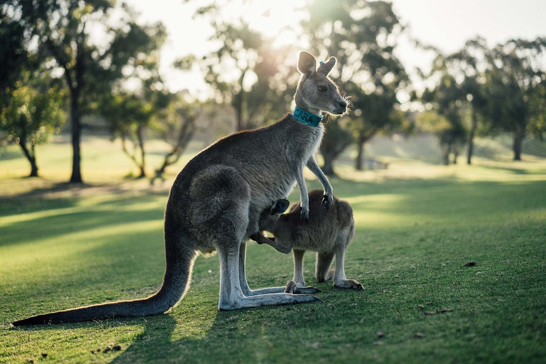 Kangaroo in Pouch