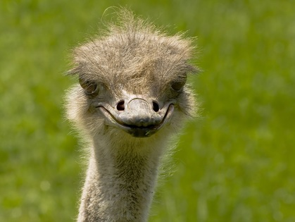 Ostrich Smiling