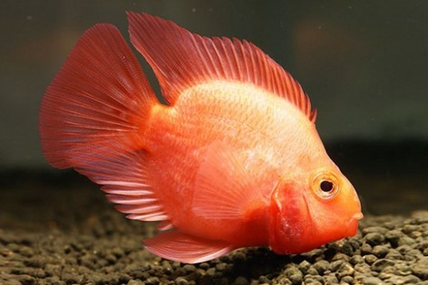 Cichlid - Animal Hybrid