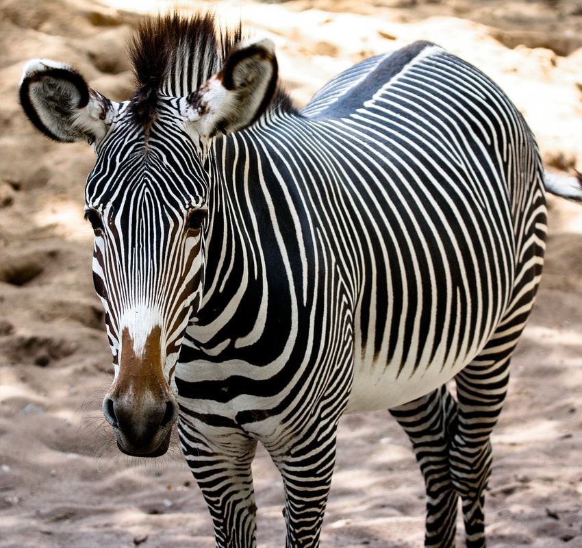 Zebra Not Domesticated