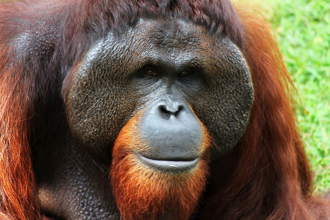 Orangutan Guide Facts