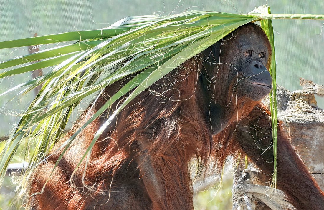 Orangutan Best Facts